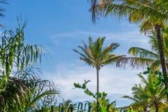 Vista della piantagione dell'albero del cocco dal pavimento inferiore Fotografia Stock