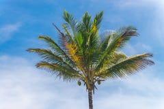 Vista della piantagione dell'albero del cocco dal pavimento inferiore Fotografie Stock Libere da Diritti