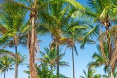 Vista della piantagione dell'albero del cocco dal pavimento inferiore Immagine Stock Libera da Diritti