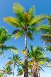 Vista della piantagione dell'albero del cocco dal pavimento inferiore Fotografia Stock Libera da Diritti