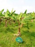 Vista della piantagione di banana Fotografia Stock Libera da Diritti