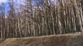 Vista delle betulle dalla finestra di automobile commovente Foresta degli alberi con i tronchi bianchi in molla in anticipo archivi video