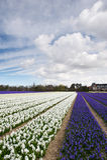Vista delle case dietro il campo del giacinto, Paesi Bassi Immagini Stock