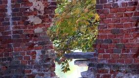 Vista delle foglie di acero giallo verde fra i vecchi tempi imperiali abbandonati del castello della muratura video d archivio