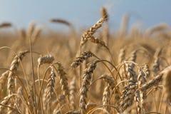 Vista delle orecchie del grano del primo piano Immagine Stock