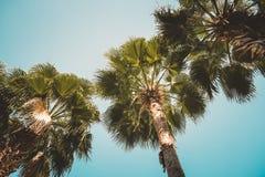 Vista delle palme da sotto con il fondo del cielo blu, stile d'annata Immagine Stock