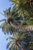 Vista delle palme e del cielo blu da sotto Fotografia Stock