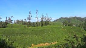 Vista delle piantagioni di tè dal treno archivi video