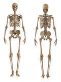 Vista dello scheletro anteriore e posteriore Disposizione di plastica dello scheletro umano Immagine Stock