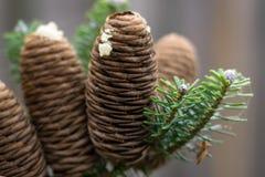 Vista detalhada de cones maduros do abeto do coreano do koreana Abies com resina fotos de stock