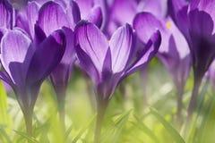 Vista detalhada de um açafrão roxo na flor Fotos de Stock Royalty Free
