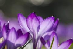 Vista detalhada de um açafrão roxo na flor Fotos de Stock