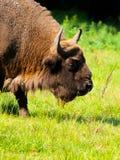 Vista detalhada do bisonte europeu foto de stock royalty free