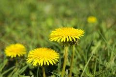 Vista detallada de la flor amarilla del diente de león con las hojas borrosas en la hierba Imágenes de archivo libres de regalías