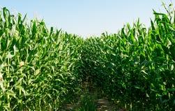 Vista detallada de las plantas del maíz inmaduras inmóviles Fotos de archivo libres de regalías