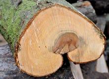 Vista detallada de un árbol disecado Fotos de archivo