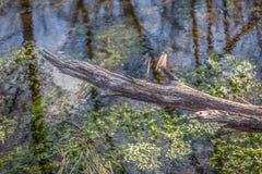Vista detallada de una reflexi?n quebrada de la rama y de los ?rboles en el r?o del agua con las algas y la vegetaci?n acu?tica fotos de archivo