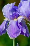 Vista detallada del iris púrpura (Iridaceae) en un día de primavera Fotos de archivo