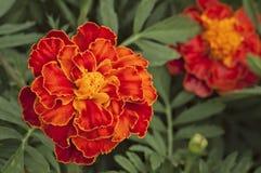 Vista dettagliata dei fiori del tagete Immagine Stock Libera da Diritti