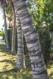 Vista dettagliata dei tronchi delle palme nella prospettiva, sull'isola di Mussulo, Luanda, Angola immagini stock libere da diritti