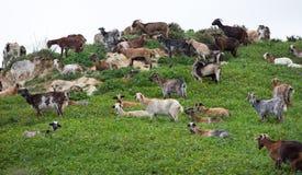 Moltitudine di capra Fotografia Stock Libera da Diritti