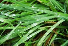 Vista dettagliata delle lame di erba con le gocce di acqua dopo pioggia Immagine Stock Libera da Diritti