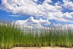 Vista di alte canne sulle nuvole nel cielo blu Immagine Stock