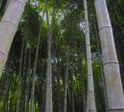Vista di angolo basso di bambù della foresta Fotografie Stock Libere da Diritti