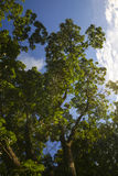 Vista di angolo basso degli alberi Fotografia Stock
