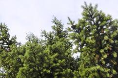 Vista di angolo basso del pino isolata sul cielo Immagine Stock