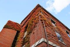 Vista di angolo basso della costruzione di mattone antica con l'edera rossa esteriore nella stagione di autunno Fotografie Stock