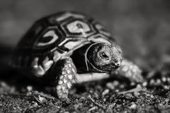 Vista di angolo basso della tartaruga del leopardo in bianco e nero immagine stock