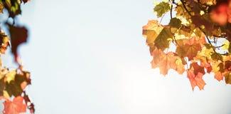 Vista di angolo basso delle foglie di acero Fotografia Stock Libera da Diritti