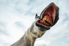 Vista di angolo basso divertente di ghignare la bocca ed i denti del cavallo immagini stock