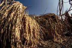 Vista di angolo basso stupefacente delle orecchie dorate di riso con cielo blu profondo nei precedenti Fotografia Stock Libera da Diritti