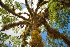Vista di bello albero con le foglie attorciglianti e d'attaccature di una pianta parassita contro il cielo blu fotografia stock