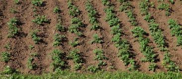 vista di cime di verde del giacimento della patata dei cespugli e della terra di agric Fotografie Stock