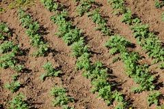 vista di cime di verde del giacimento della patata dei cespugli e della terra di agric Fotografia Stock Libera da Diritti