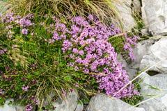 Vista di Closeap ad un cespuglio del fiore del timo sullo scorrevole alpino roccioso Fotografia Stock