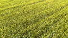 Vista di cui sopra aerea del fiore del seme di colza primaverile video d archivio