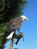 Vista di Eagle da sotto Immagini Stock Libere da Diritti