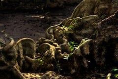 Vista di giorno della radice di legno naturale fotografie stock