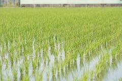 Vista di giovane germoglio del riso pronto alla crescita nel giacimento del riso Fotografia Stock Libera da Diritti