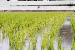 Vista di giovane germoglio del riso pronto alla crescita nel giacimento del riso Immagini Stock Libere da Diritti