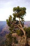 Vista di grande canyon con l'albero Immagine Stock Libera da Diritti