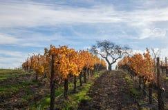 Vista di inverno dell'albero in vigna nelle colline pedemontana di Santa Barbara in California centrale U.S.A. immagine stock libera da diritti