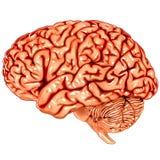 Vista di laterale del cervello umano Fotografie Stock Libere da Diritti