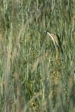 Vista di orientamento del ritratto della posa classica del tarabuso americano fra le canne fotografia stock