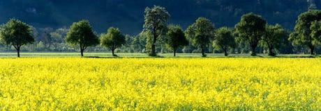 Vista di panorama dei giacimenti gialli del seme di ravizzone e degli alberi sboccianti del frutteto di frutta in primavera Immagini Stock Libere da Diritti