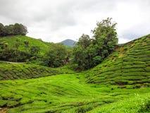 Vista di panorama del paesaggio del campo della piantagione di tè verde Immagine Stock
